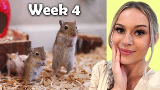 How the sick gerbils are doing || Update Week 4