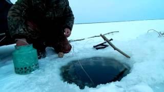 Рыбалка на перемет налим зимой