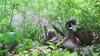 A male wood duck chattering to himself