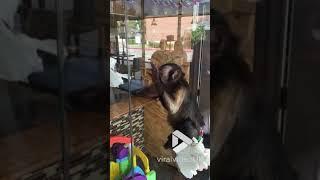 animale maimuta curata fereastra