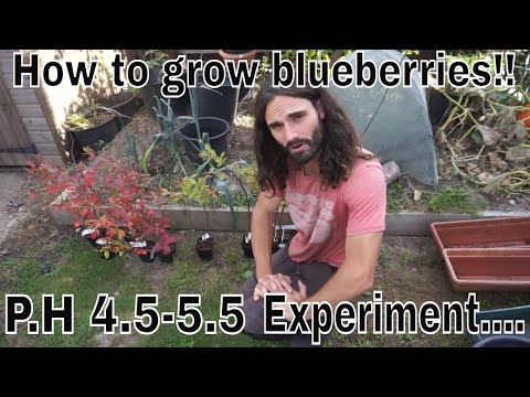 How to plant and grow blueberries!