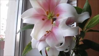 Цветы на балконе - лилии видео