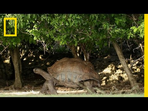 Cave-Dwelling Giant Tortoises Are a Big Surprise | National Geographic thumbnail
