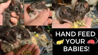 3 baby feeder rats saved last week - hand taming them with food here
