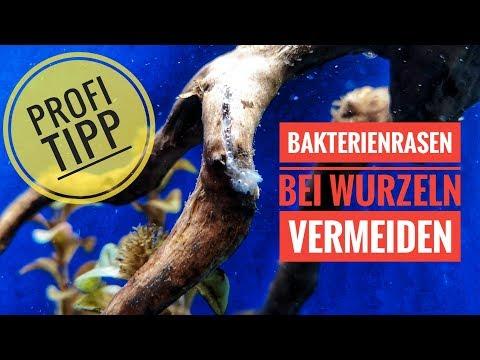 Wie du Wurzeln für dein Aquarium vorbereitest - Profi Tipp