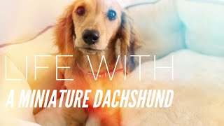 Life With A Miniature Dachshund