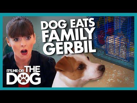 'Killer Instinct' Makes Jack Russell Eat Family Pet |  It's Me or The Dog