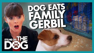 Killer Instinct Makes Jack Russell Eat Family Pet    Its Me Or The Dog