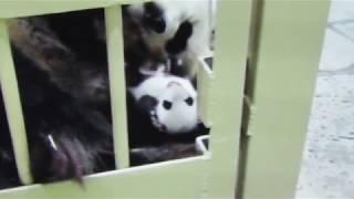 白浜から発信!元気いっぱい成長しています!9月23日の赤ちゃんパンダ!モニターより#アドベンチャーワールド