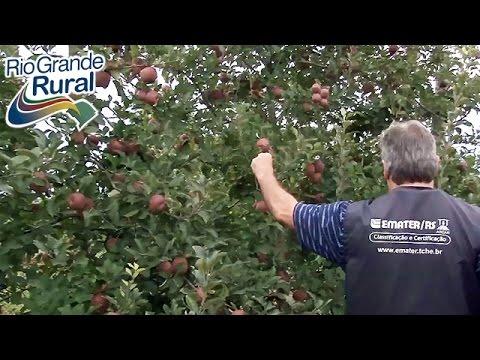 Colheita e classificação de maçã
