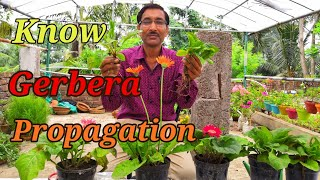 How To Propagate GERBERA Plants.