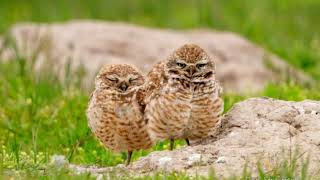 Migrant Monday: Burrowing Owls