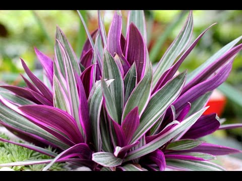 Цветок РЕО - приметы и суеверия