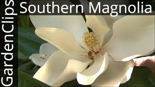 Evergreen Southern Magnolia - Magnolia Grandiflora - Growing tips for Bull Bay Magnolia