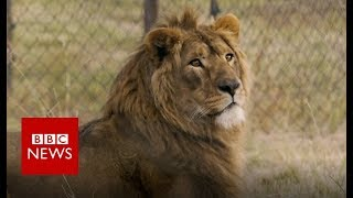 Lion kings: Rescued from war - BBC News