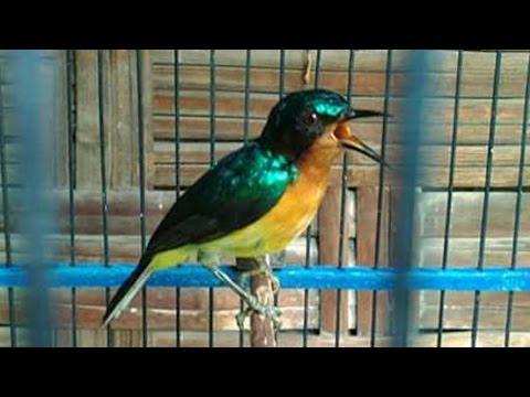 Unduh 480+  Gambar Burung Wulung  Paling Unik Gratis