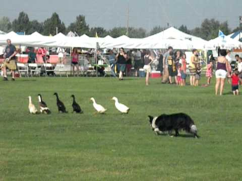 Duck Herding At The Scottish Games