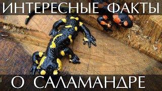 Интересные факты о саламандре