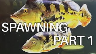 Peacock bass cichla monoculus spawning. Part 1.
