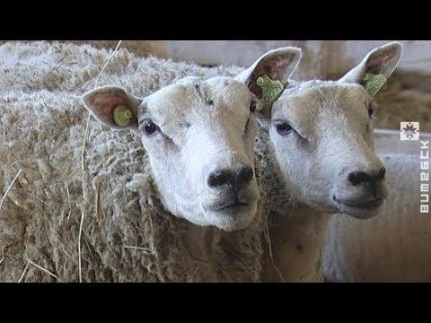 Пересчитали всех овец и выяснили кое-что любопытное (19.06.2018)