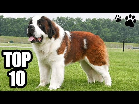 TOP 10 - Biggest Dog Breeds in the world