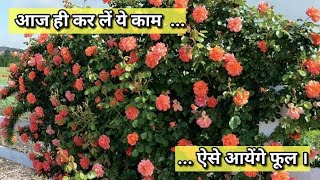 This Is Best Time To Prune Your Rose Plant | Rose Pruning Important Tips | Budget Gardening (Hindi)