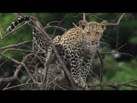 Top 5 Big Cat Moments | BBC Earth