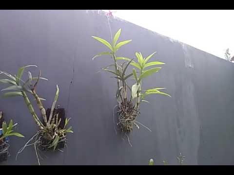 Video Tanaman Pohon anggrek di dinding