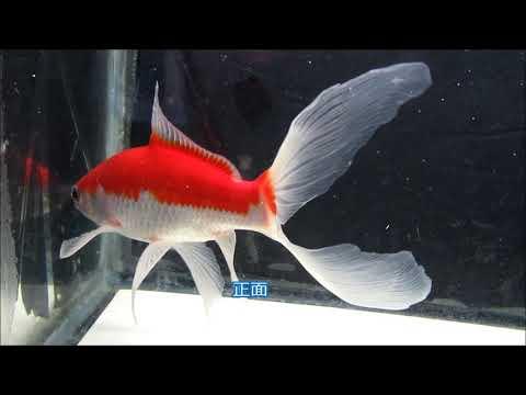 庄内金魚 3(ふりそで金魚) 3才 18㎝ 11月27日撮影