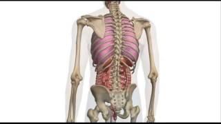 Внутренние органы человека. Анатомия.