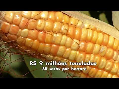Mesmo com chuva, há perda de 20% no milho safrinha
