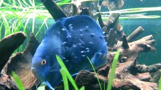 Blue Diamond Discus Pair With Fry In A Planted Tank. Tropical International