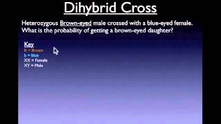 Dihybrid Cross Review