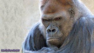 Western Lowland Gorilla - Endangered Species