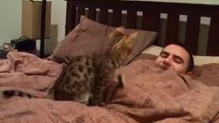 Bengal kitten goes skitzo 2