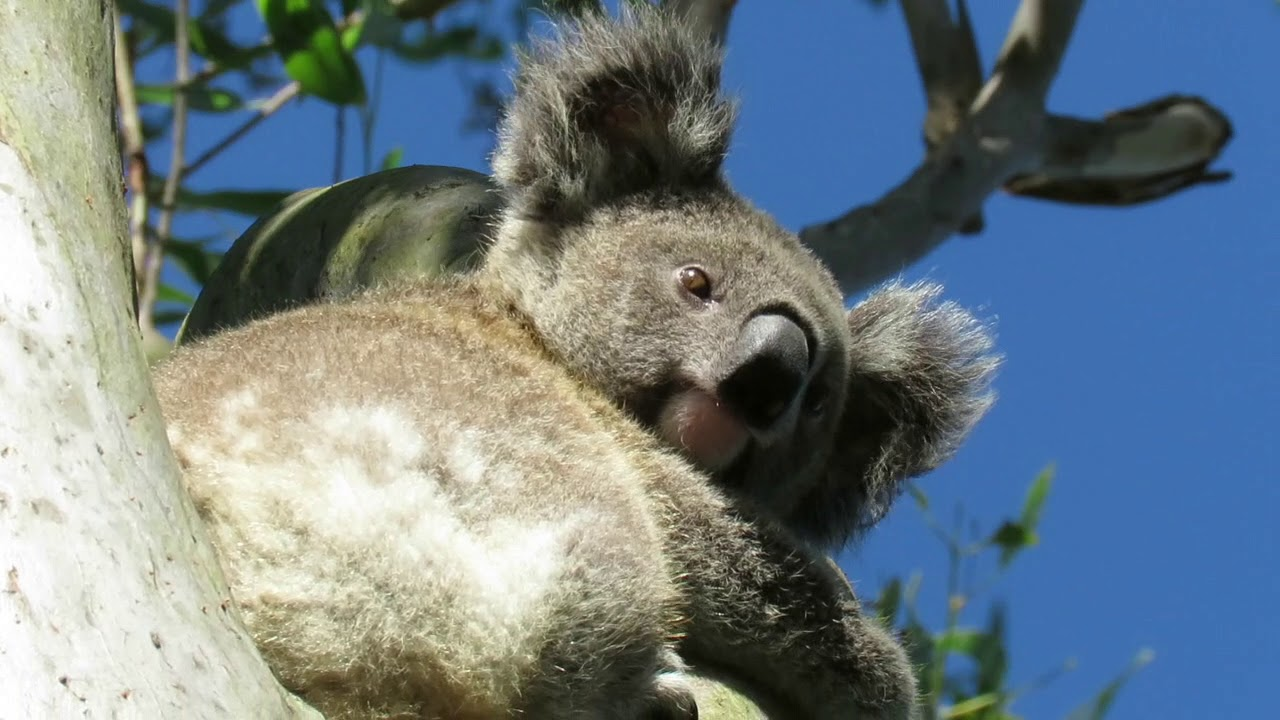A koala named Summer