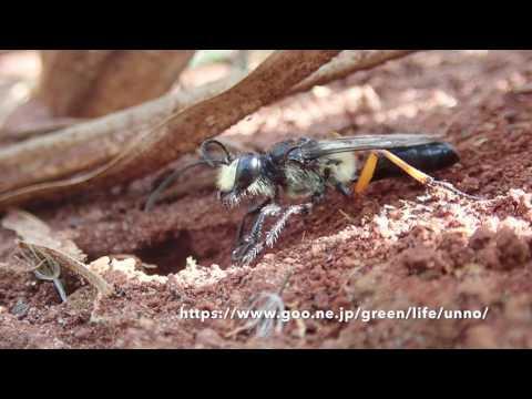 TG-5で撮るアフリカクロアナバチの穴掘り Sphex tomentosus
