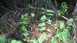 Chamaecrista fasciculata Partridge Pea