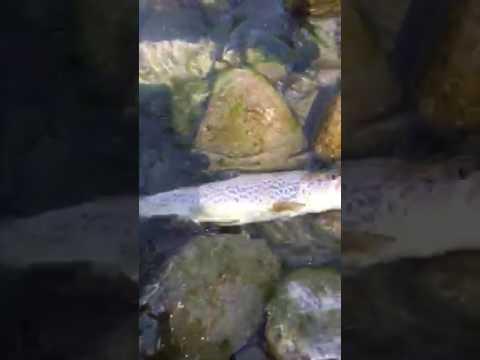 Il russo som di Soldatov che pesca 3.99