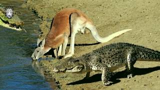 Kangaroo Don't Escape From Crocodile Hunting | Crocodile is King Swamp || Crazy_Hunt