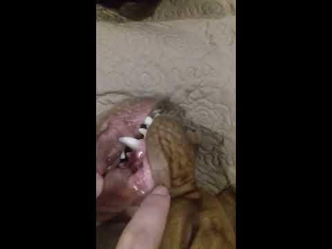Гингивит у собаки французский мастиф и его лечение.