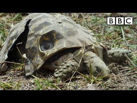 Rozšláputý želví špión natáčí dál
