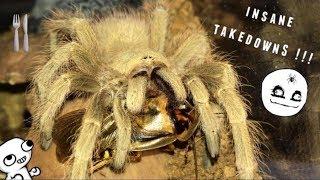 Tarantula Feeding Video #27 ~ GOOD START !!!