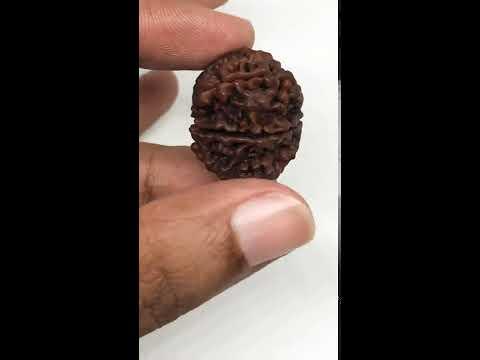 11 Mukhi Rudraksha