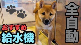 犬の自動給水機 柴犬ムサシ大興奮
