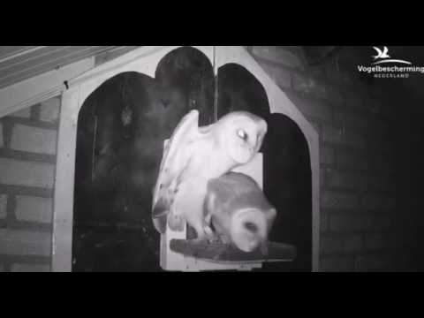 Barn Owls pushing on the nest box ledge - 17.07.17