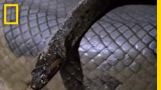 Anaconda Babies | National Geographic