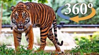 Adventure through Jungle Cat World (360 Video)