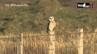 An Introduction to the Short-eared Owl (Asio flammeus) - by Wild Owl