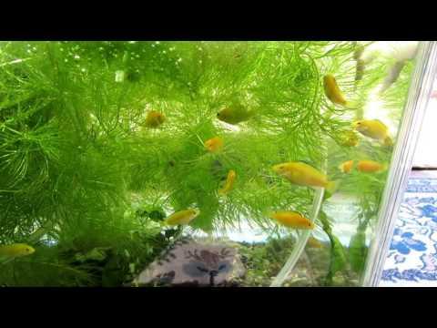 【熱帯魚】 ラビドクロミス・カエルレウスの成長記録 その2 撮影日撮影日 平成28年8月21日